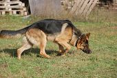 foto of sheep-dog  - German Shepard Dog  - JPG