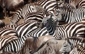 stock photo of zebra crossing  - Herd of zebras  - JPG