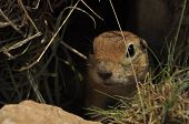 image of gopher  - Gopher looking out of the burrow - JPG