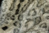 picture of panthera uncia  - Snow leopard fur texture  - JPG