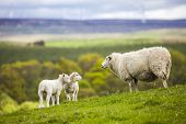 picture of sheep  - Family on the Meadow  - JPG