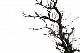 image of dead plant  - dead tree branches isolated on white background - JPG