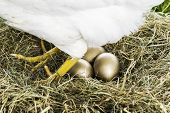 foto of egg-laying  - Hen laying three golden eggs in nest - JPG