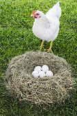 image of laying eggs  - White hen with eggs inside nest Free range chicken - JPG