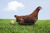 stock photo of egg-laying  - Brown hen laying down egg on grass - JPG