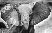 stock photo of elephant ear  - An isolated elephant head with ears out and trunk up in black  - JPG