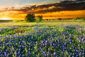 stock photo of bluebonnets  - Texas bluebonnets bathed in early morning light - JPG
