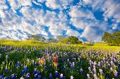 pic of bluebonnets  - Bluebonnets and Indian paintbrushes on display in rural Texas on a sunny spring afternoon - JPG