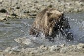 stock photo of grizzly bear  - Grizzly bear catching fish in splashing water - JPG