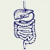 picture of anal  - Internal human digestive system - JPG