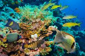 pic of fire coral  - Tropical Fish and Coral Reef on Red Sea - JPG