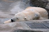 foto of polar bears  - Sleeping polar bear in the captivity at the Zoo - JPG