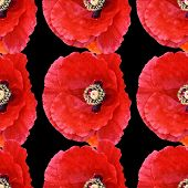 stock photo of poppy flower  - Beautiful red poppy Papaver rhoeas spring flower seamless pattern of cutout red poppies on black background - JPG