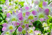 picture of orquidea  - Phalaenopsis Hybrid flower Orchids in the garden - JPG