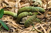 picture of tree snake  - Snakes are fighting against the lizard to eat - JPG