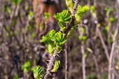 stock photo of thorns  - the luscious spring green leaves of wild rose with thorns - JPG