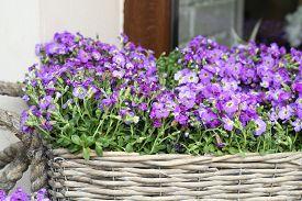 picture of lobelia  - blooming violet lobelia erinus in wicker basket - JPG