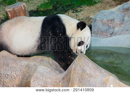 The Great Panda ailuropoda Melanoleuca
