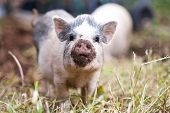Female Pet Pig Looking At Camera With Dirty Snout poster