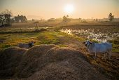 Countryside Landscape Cow Grazing In Agriculture Farm And Sunrise Rural Countryside View poster