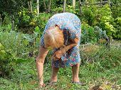 Senior Woman Working In Her Backyard Garden. Rural Scene In Summer, Concept Of Gardening, Weeding Of poster