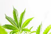 Indoor Grow Cannabis Indica, White Background Cultivation Cannabis, Marijuana Legalization, Cannabis poster