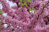 foto of judas tree  - With its vivid magenta colors most beautiful symbol of spring