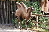 stock photo of hump day  - Camelus bactrianus - JPG