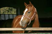 Thoroughbred Chestnut Youngster Posing At Stable Door Against Black Natural Background Summertime. P poster