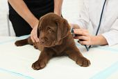 Man With His Pet Visiting Veterinarian In Clinic. Doc Examining Labrador Puppy poster