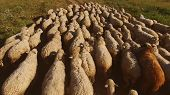 Sheep Walking On Meadow. Flock Of White Sheep. Animals At Pasture Land. Terrain Meant For Grazing. poster