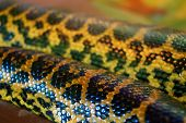 stock photo of anaconda  - Close up - Detail of a large Anaconda snake