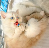 White Turkish Angora Cat Playing In The Cage In A Pet Store. Fashion Kitty Cat With Pedigree And Blu poster