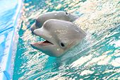 The Beluga Whale Or White Whale (delphinapterus Leucas) Is An Arctic And Sub-arctic Cetacean.belugas poster