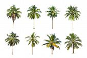 Isolated Big Coconut Tree On White Background.the Collection Of Coconut Trees. Tropical Trees Isolat poster