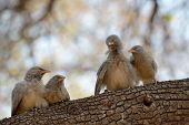 foto of babbler  - Young Babblers on a branch sitting together - JPG