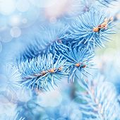 picture of blue spruce  - Photo of frozen fir tree background - JPG
