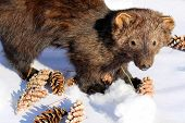 picture of taxidermy  - Weasel - JPG