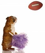 Bulldog Shaking Her Pompoms With Football poster