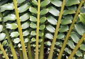 Closeup Of Beautiful Leaves Of Zululand Cycad (encephalartos Ferox)