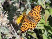Fritillary on a Flower