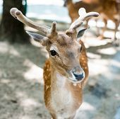 picture of mule deer  - young deer looking at camera - JPG