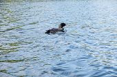 stock photo of loon  - A loon is floating leisurely on a lake - JPG