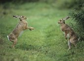 foto of hare  - Two aggressive hares - JPG