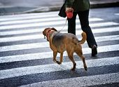 stock photo of seeing eye dog  - Man with a dog crossing the street - JPG