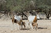 picture of biblical  - Sahara antelopes at the National Biblical Hai-Bar nature reserve, 