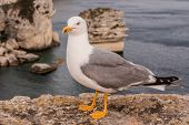 Seagull On A Cliff Near Bonifacio. Bonifacio, Old Town At Sea Cliff, Corsica, France