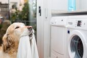 stock photo of dirty-laundry  - Golden Retriever dog doing laundry at home - JPG