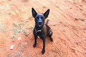 stock photo of cattle dog  - A working dog in the Australian outback - JPG