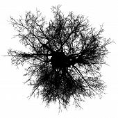 picture of ash-tree  - ash tree top leafless branches detailed black silhouette - JPG